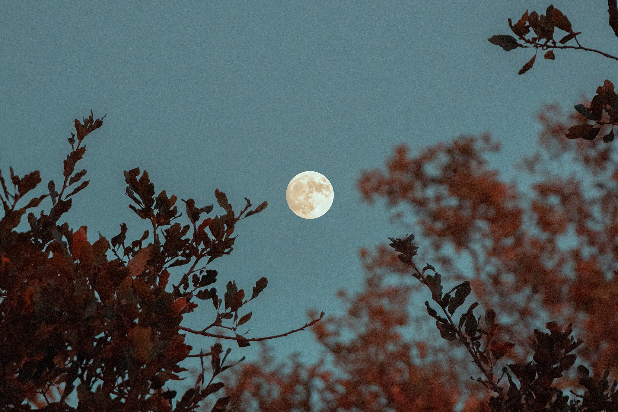 Pale full moon appears beyond dark red branches on an eerie blue sky